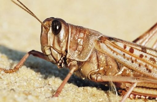 UN to set drones on east Africa locusts