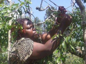meru-miraa-traders-count-losses-as-somalia-digs-in