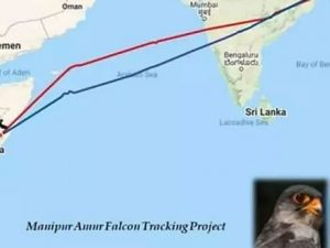 satellite-tagged-falcons-reach-somalia-from-manipur