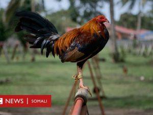 diiq-sababay-geerida-ninkii-lahaa